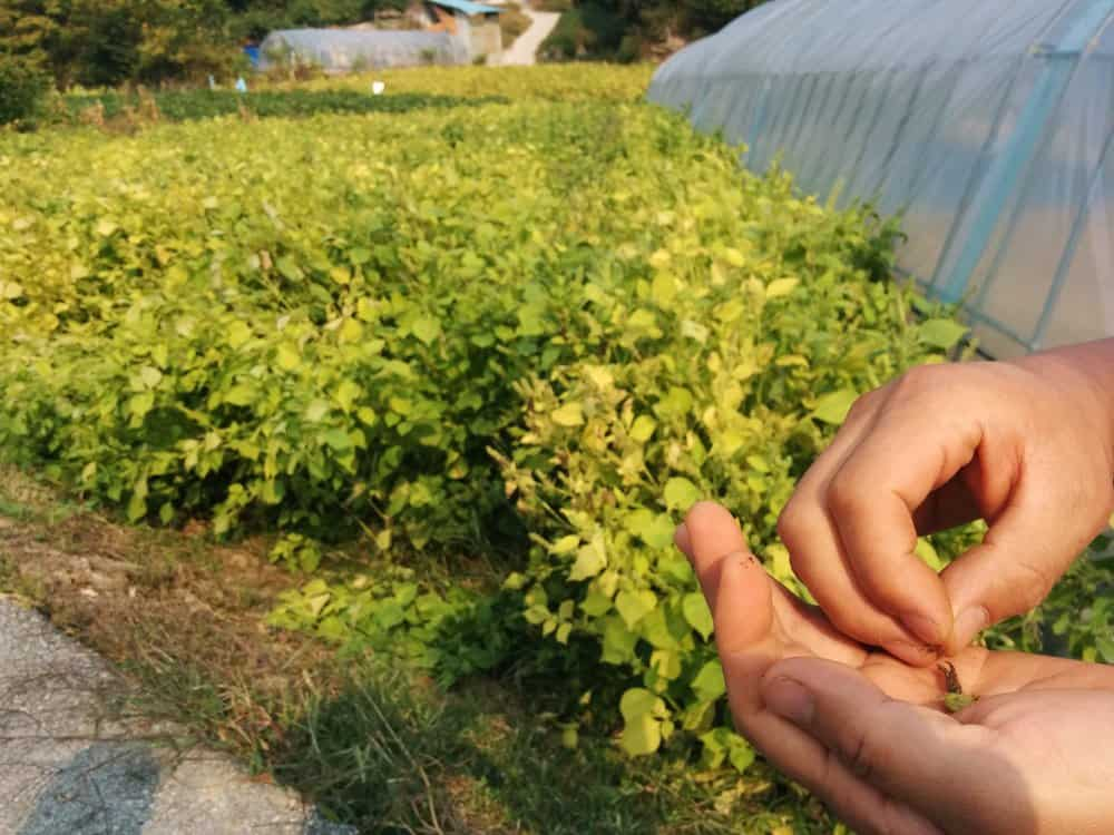 Fresh sesame seeds, photo: Kevin Murray