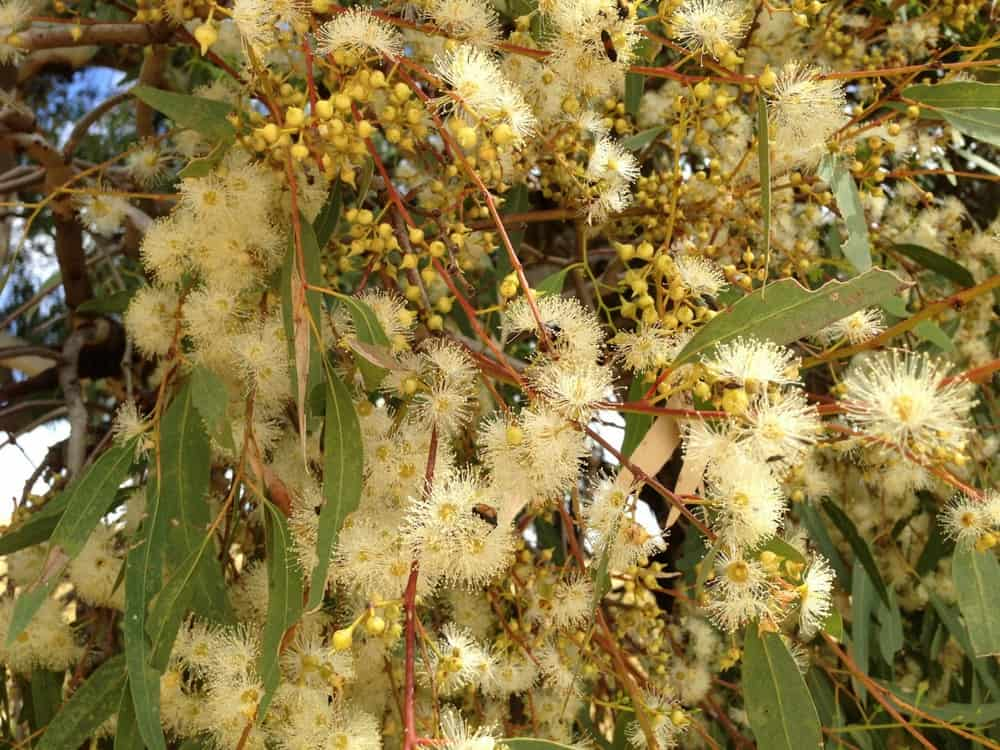 Bees in blossom of river red gum, Northern Victoria