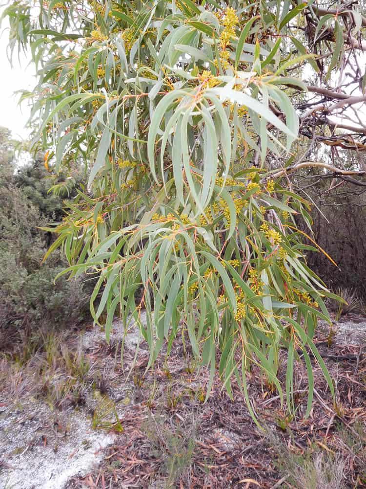 Marian Hosking, Abalone Brooch with Black peppermint rim (Before 2), 2016, Flinders Island Black Peppermint Gum, photo: Marian Hosking, Yellow Beach, Flinders Island