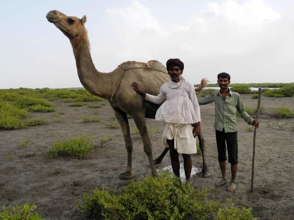 Camel with Jumo Patel