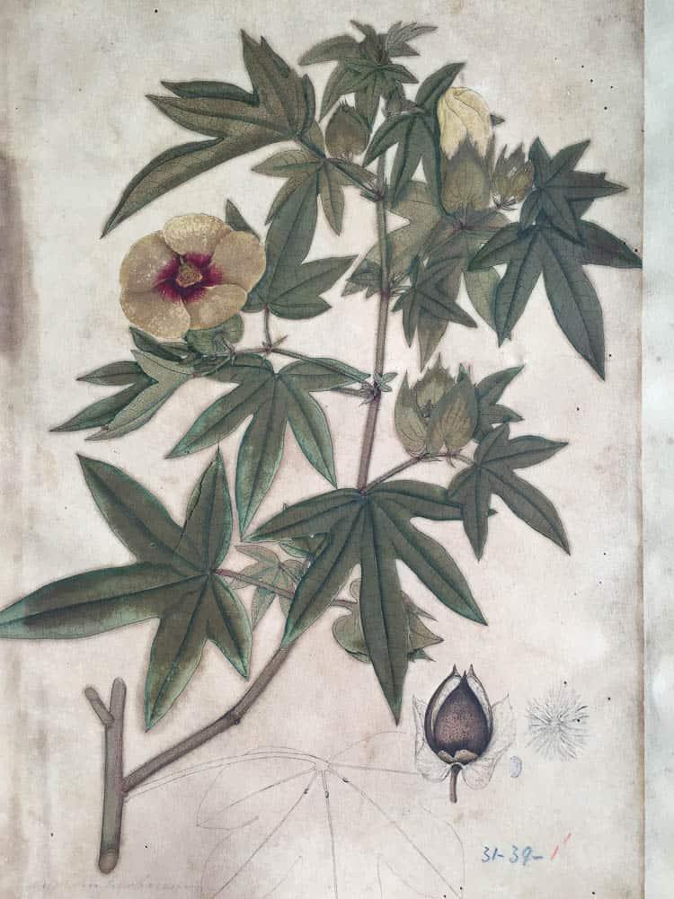 Painting of Gossypium arboreum. Painting of Gossypium arboreum in Kolkata herbarium archives  by unknown artist, commissioned by William Roxburgh (1751-1815), acknowledged to be 'father of Indian botany.' Photo: Shahidul Alam, Drik. Acharya Jagadish Chandra Bose Indian Botanic Garden, Kolkatta, India.