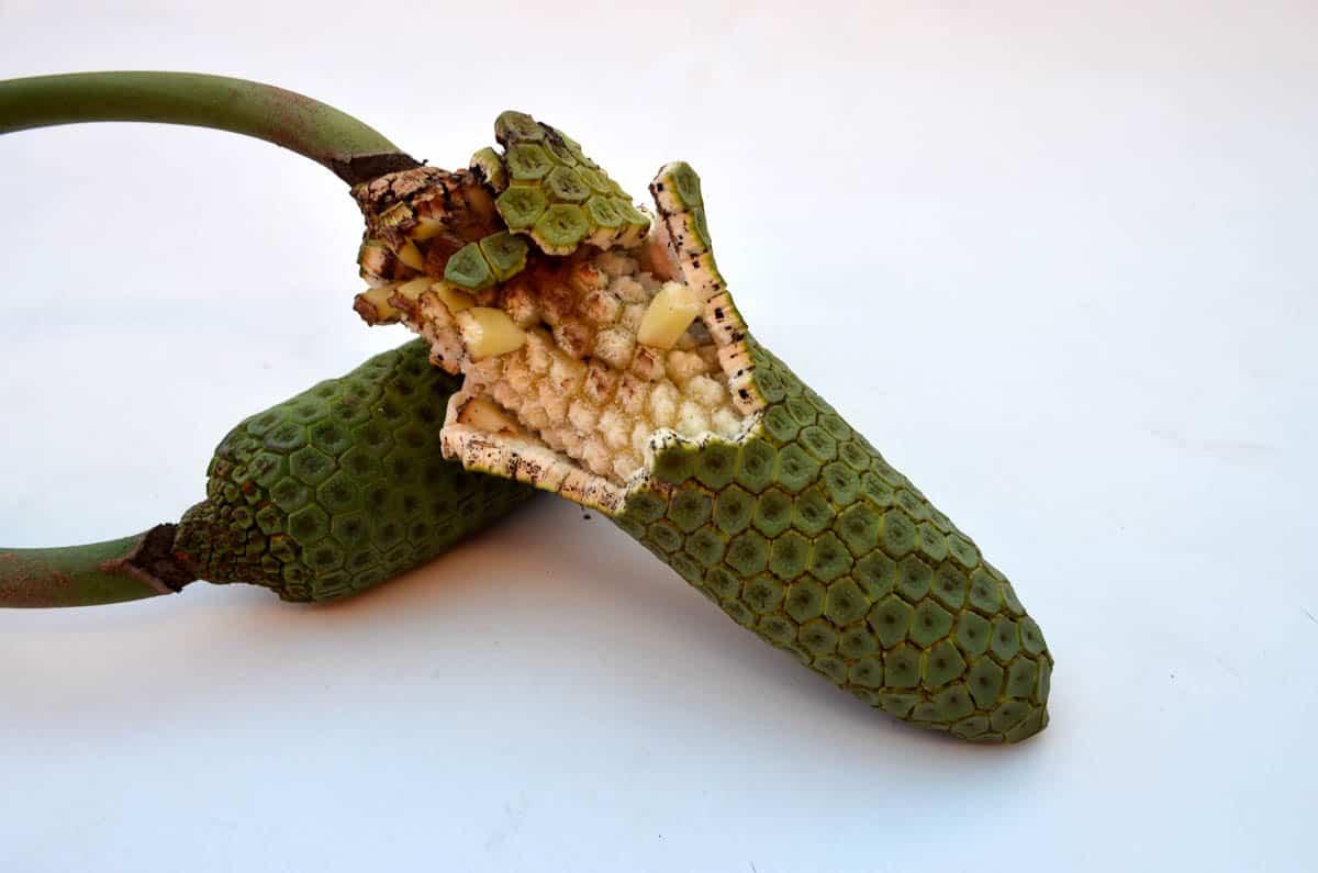 Marcelo Fernández Mainardi, Primordial Soup (Before 2), Ceriman, split leaf philodendron, photo: Marcelo Fernández Mainardi