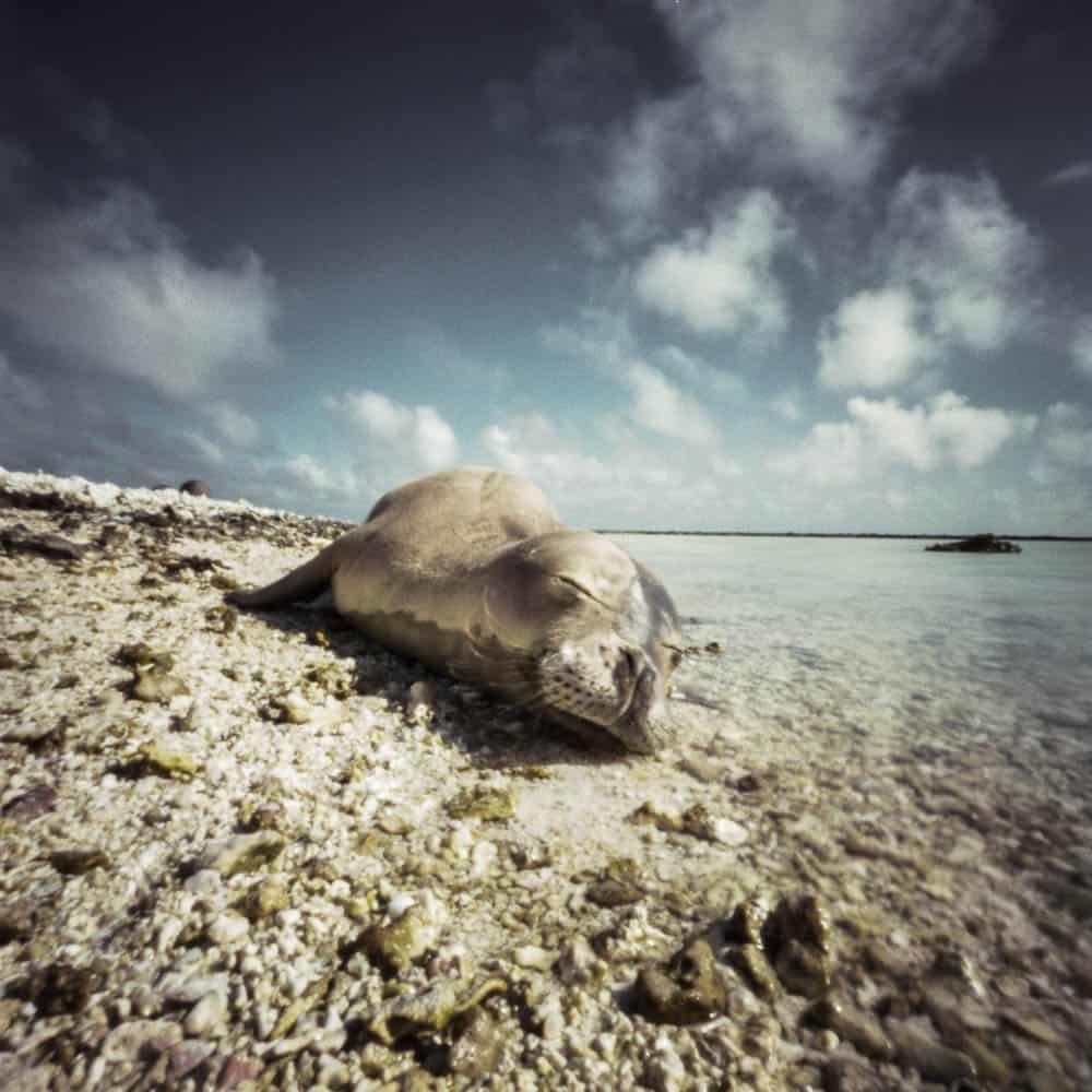 The small, low-lying islands and islets of the Papahanaumokuakea Marine National Monument provide critical habitat for green sea turtles (Chelonia mydas / Honu) and Hawaiian monk seals (Neomonachus schauinslandi / 'Ilio holo i ka uaua), who haul out on shore to rest.
